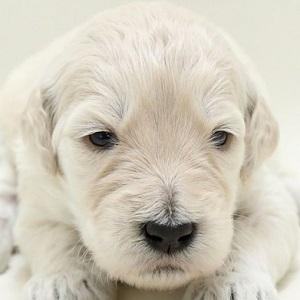 ミックス犬ドゥードル0729