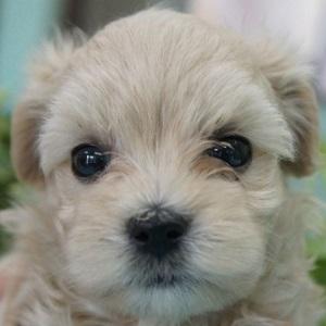 ミックス犬マルプー0624