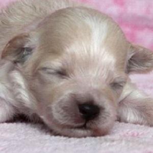 ミックス犬マルプー0816