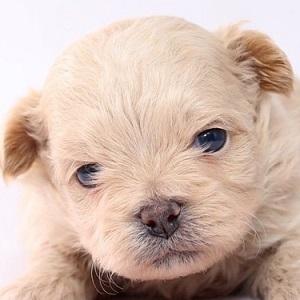 ミックス犬ペキプー1027