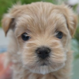 ミックス犬マルプー1021