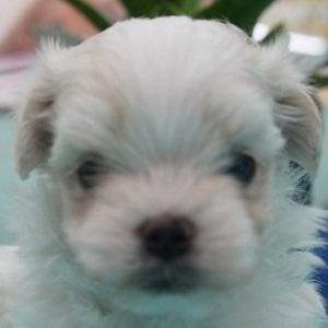 ミックス犬マルプー1225