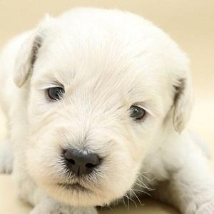 ミックス犬ゴールデンドゥードル0504