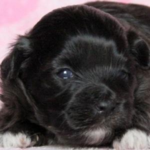 ミックス犬マルプー0802