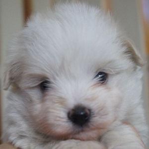 ミックス犬マルポメ0929