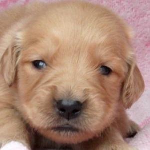 ゴールデンレトリバーの子犬販売0422