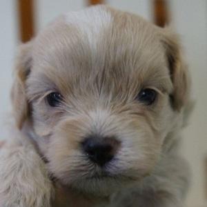 ミックス犬マルプー0622