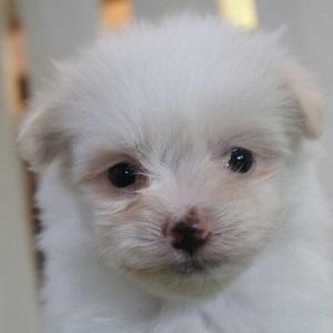 ミックス犬マルポメ0420