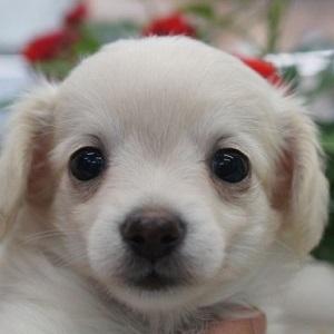小型ミックス犬チワックス0517