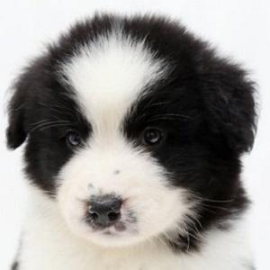 大型ミックス犬0529サモエドバーニーズ