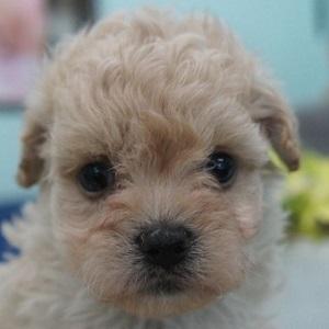 ミックス犬マルプー0822